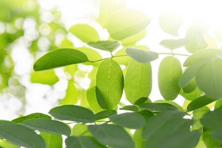Green leaves on natural blurred background