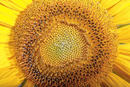 Close-up of sunflower flower as natural background