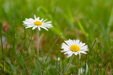 White daisies on meadow as natural background