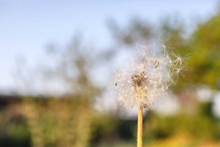 Dandelion flower in grass. Soft focus. Nature background.