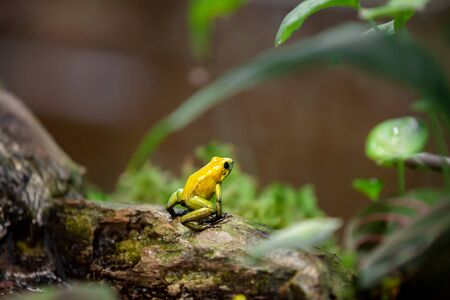 Golden Poison Dart Frog (Phyllobates terribilis) in rainforest. Tropical frog living in South America. Stock Photo