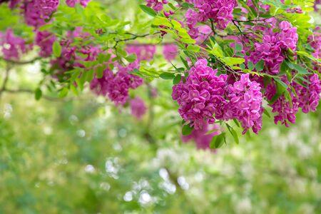 Abstract Blooming Pink Acacia Flowers (Robinia Viscosa) Stock Photo