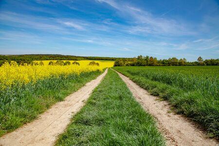 Rape field, pathway with blue sky. Summer season.