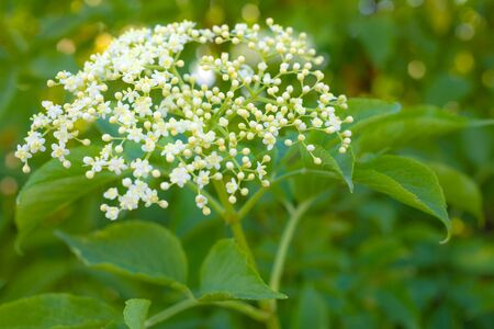 Elderberry flower (Sambucus nigra) as natural background