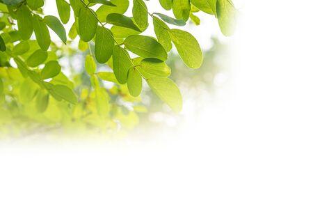 Fresh green spring leaf of Acacia or Black Locust on white background. Stock Photo