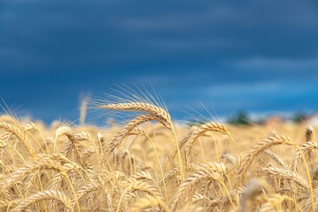 Gold wheat field with dark blue sky.