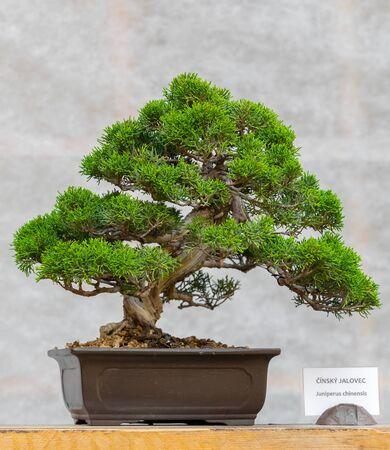 Green bonsai tree- Juniperus chinensis in a ceramic pot