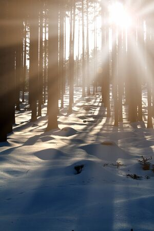 Sunset in the wood between the trees strains in winter period. Stock Photo