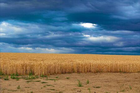 Wheat field against a dark blue sky