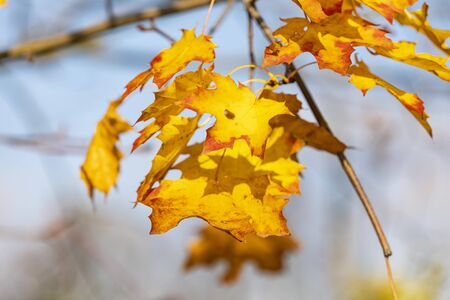 Autumn maple leaves on branch. Natural background.