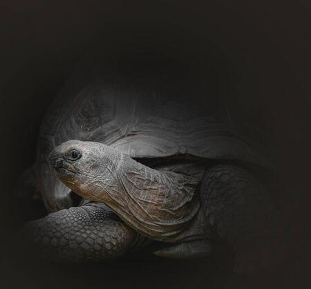 Aldabra giant tortoise (Aldabrachelys gigantea) on black background