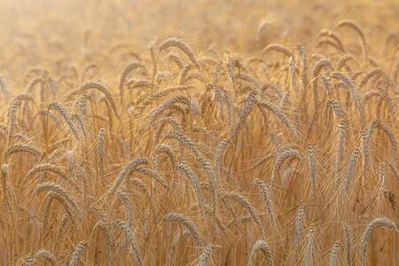Gold wheat field. Sunny day in summer season.