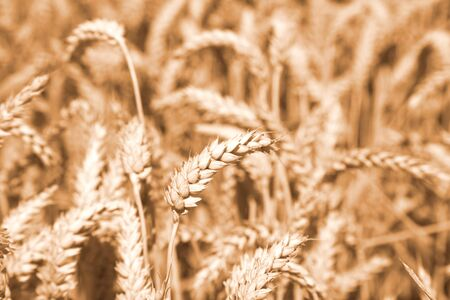 Gold wheat field. Natural background.