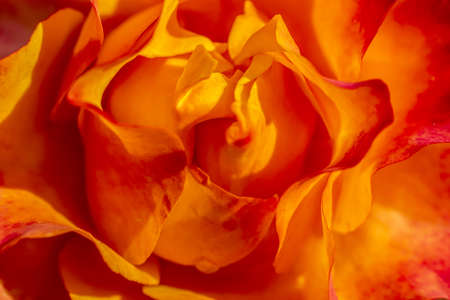 Red yellow rose background: Flower Mothers day or Valentines card.