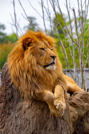 South African lion (Panthera leo krugeri) relaxing in on the stone at ZOO
