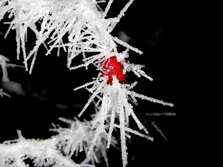 Tree covered with hoar frost close-up, hoar frost covered hawthorn berry at winter forest Stock Photo