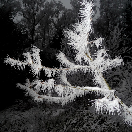 Tree covered with hoar frost close-up, hoar frost covered branch at winter forest