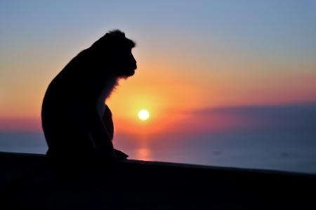 Sitting monkey silhouette at sunset