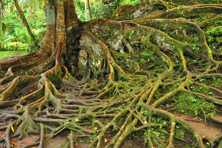 Forest tree with roots  photo