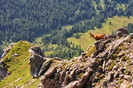 Chamois in Slovak mountains High Tatras