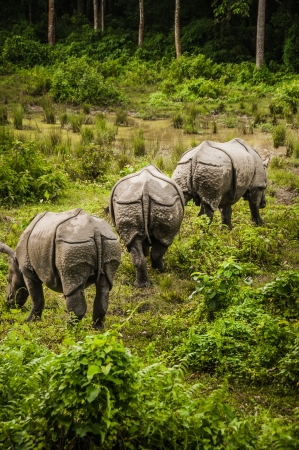 Three rhinoceros in Chitwan forrest, Nepal photo