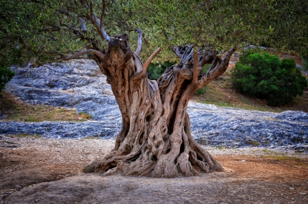 fantasy landscape: Old olive tree trunk, roots and branches