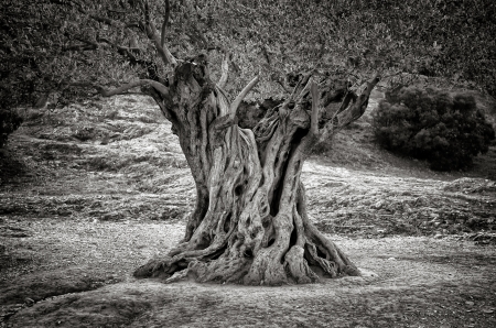Old olive tree trunk, roots and branches, monochrome vintage Zdjęcie Seryjne - 17333910
