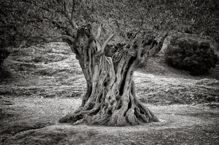 Old olive tree trunk, Wurzeln und Ästen, monochrom vintage Standard-Bild - 17333910