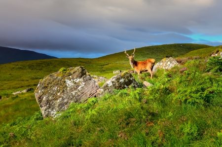 white tail deer: Young deer in the meadow at Scottish highlands, Scotland, United Kingdom