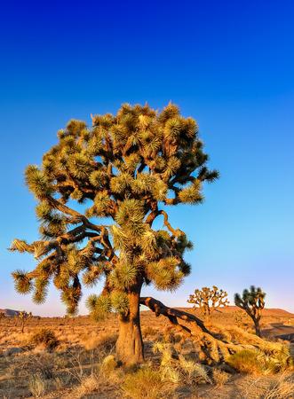 Detail of joshua tree before sunset, California, USA Stock Photo