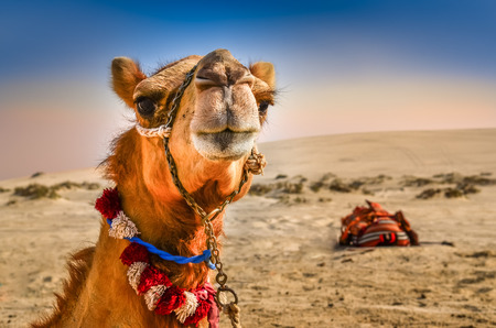 Detail of camel Stock Photo