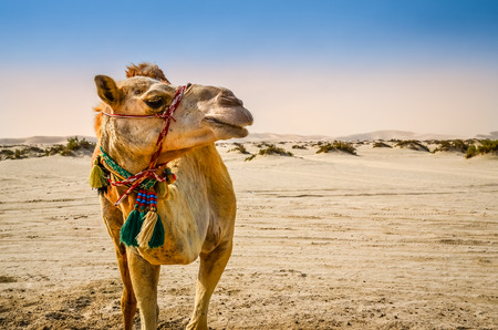 saddle camel: Portrait of camel standing in the desert looking away Stock Photo
