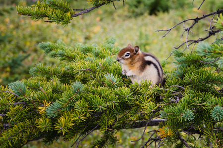 Detail of small chipmunk sitting on a green tree photo