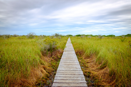 Landscape view of wooden boardwalk in swamp covered by greed grass