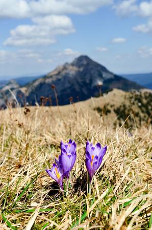 mala fatra: Magenta crocus flower blossoms in the mountain meadows, Mala Fatra, Slovakia