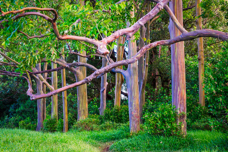 Beautiful landscape view of colorful painted eucalyptus trees, Maui, Hawaii, USA Stock Photo