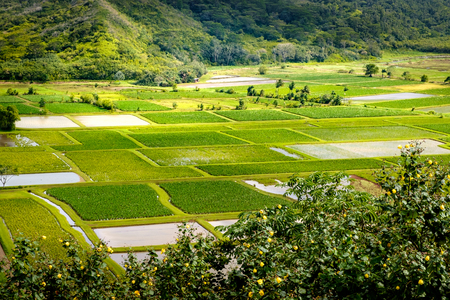 taro: Landscape detail of green taro fields in Hanalei valley, Kauai, USA Stock Photo