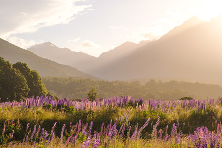 Landscape view of mountain range with lupine flowers at sunset, Fjordland, New Zealand