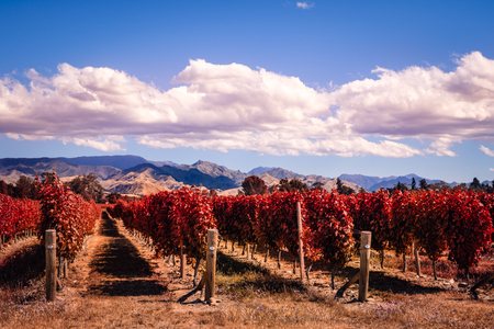 Autumn colorful vineyards in Marlborough wine country, South island, New Zealand
