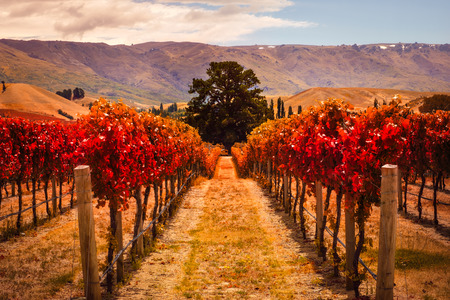 Autumn landscape view of vineyard rows with the tree, Otago region, South island of New Zealand Stock Photo