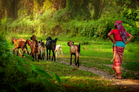 Woman shepherd dressed in colorful clothes walking with goats in forest, Nepal, Asia