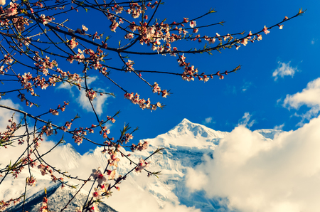 Cherry tree spring flowers with mountain peak in background, Himalayas, Nepal, Asia 免版税图像