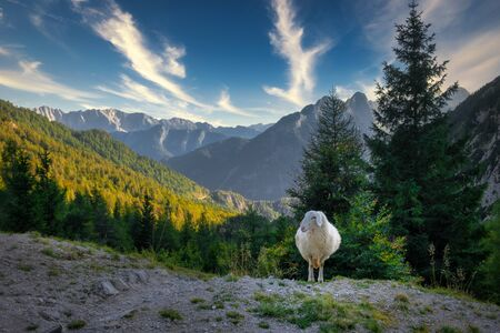 Landscape view of mountain range and lonely sheep, Vrsic pass, Triglav National park, Slovenia