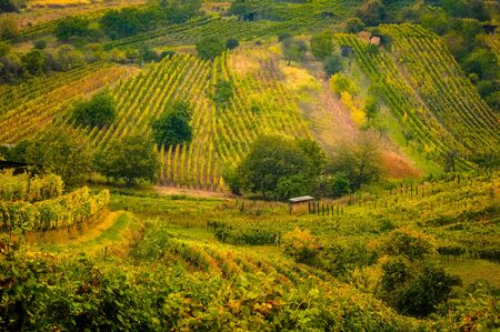 Landscape view of beautiful vintage vineyards and hills with vivid colorful foliage