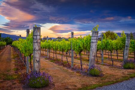 Landscape view of beautiful vintage vineyard during colorful sunset, Otago, New Zealand