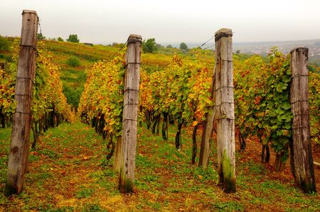 Landscape view of beautiful vintage vineyards with vivid colorful foliage and wooden poles 免版税图像