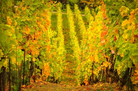 Landscape view of beautiful vintage vineyards with vivid colorful foliage 免版税图像 - 143136525