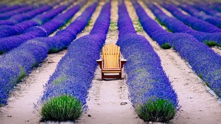 Landscape detail of colorful lavender field with wooden chair, relaxation concept, Otago, New Zealand
