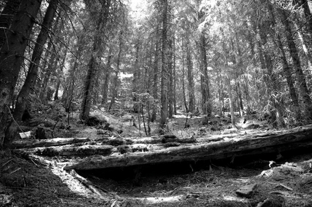 glades: Spurce forest on Biharia mountain in Transylvania.