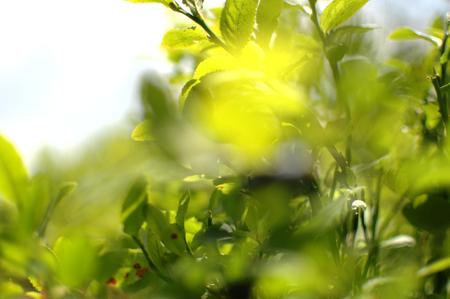 bilberry: Bilberry leafs